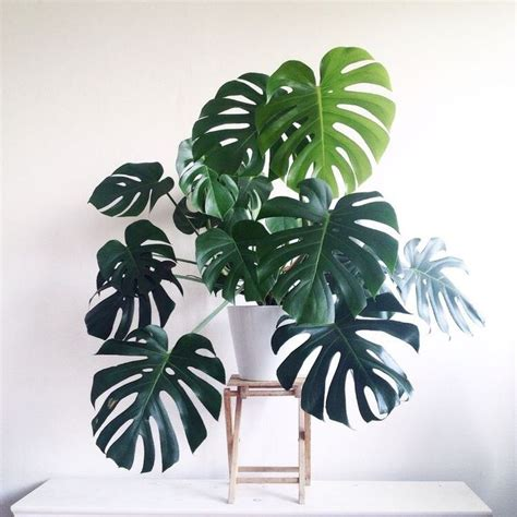 the 25 best ideas about monstera deliciosa on