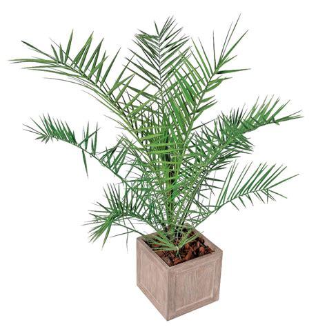 canariensis hauteur 60 80 cm conteneur 3 litres plantes m 233 diterran 233 ennes pour balcons