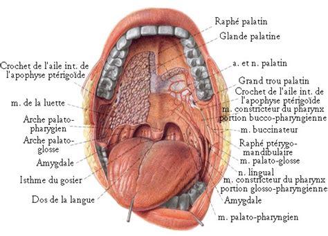 vue de l int 233 rieur de la bouche os et muscles de la t 202 te by sereni