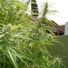 comment bien choisir une vari 233 t 233 de cannabis 224 cultiver en ext 233 rieur