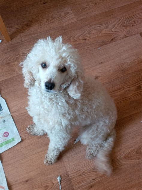 Non Shedding Small Dogs For Adoption by Apricot Poodle Puppies Non Shedding Blackpool