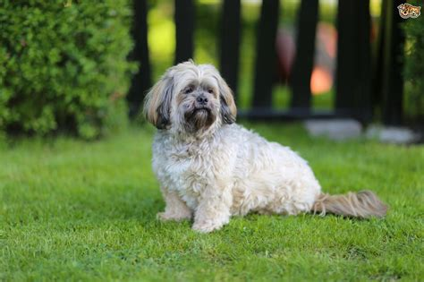 lhasa apso grooming styles pictures breeds picture