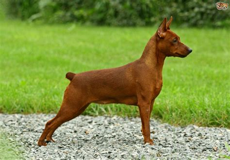 Do Miniature Pinschers Shed by Miniature Pinscher Breed Information Buying Advice