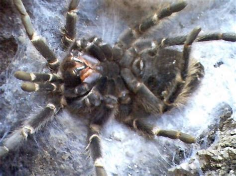 how to tell if your tarantula is molting tarantula spider