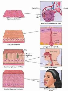 Epithelium: Surfaces of the Body. Shows the different ...