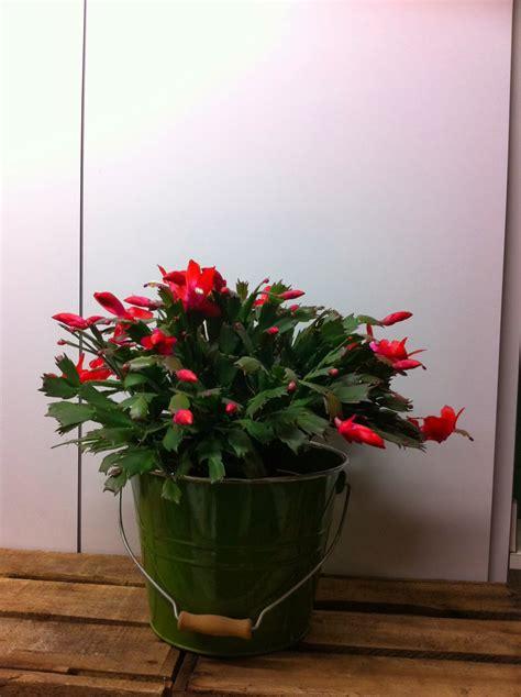 fleuriste isabelle feuvrier le cactus de no 235 l ou schlumbergera ou 233 piphyllum by em origine