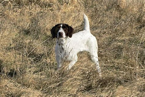 100 german shorthaired pointer shed german shorthair pointer breed information