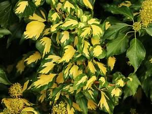 Kletterpflanzen Immergrün Winterhart : gold efeu gelbbunter efeu 39 goldheart 39 hedera helix 39 goldheart 39 baumschule horstmann ~ Markanthonyermac.com Haus und Dekorationen