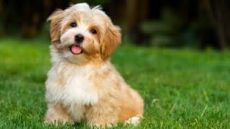 kid friendly dogs that dont shed best small dogs for choosing the pet for