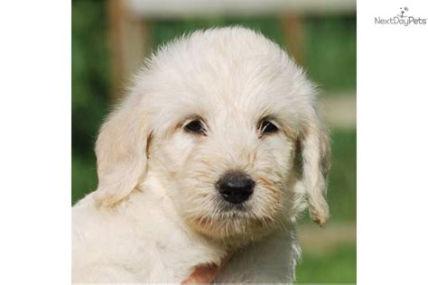 small white non shedding breeds hybrid non shedding dogs breeds picture