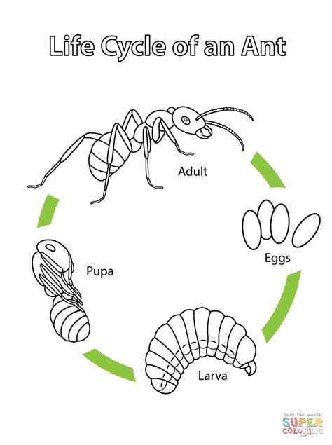 Ant Life Cycle  Bing Images