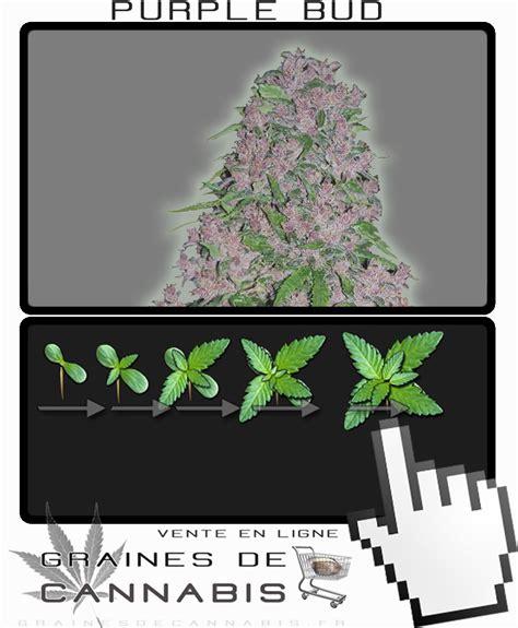 graines de cannabis puissant et facile 224 cultiver