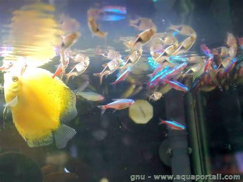 pourquoi un poisson pipe l air en surface
