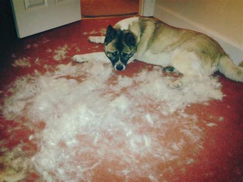 akita grooming washing tips akita world