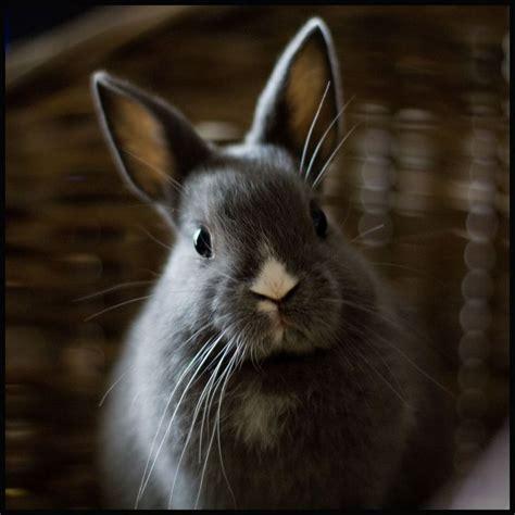 les 25 meilleures id 233 es tendance lapins nains sur lapin nain des pays bas lapinous