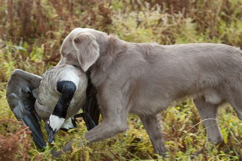 pointing breed of the week the weimaraner part 1