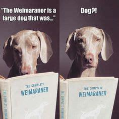 1000 ideas about weimaraner on william wegman