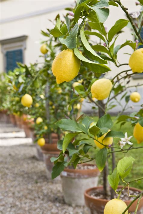 all about the meyer lemon tree fast growing trees