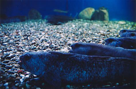 file parc aquarium du loup atlantique jpg wikimedia commons