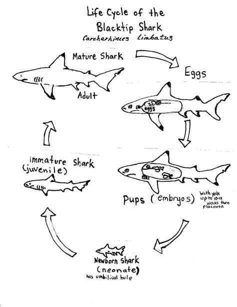 Diagram Tiger Shark Life Cycle Diagram
