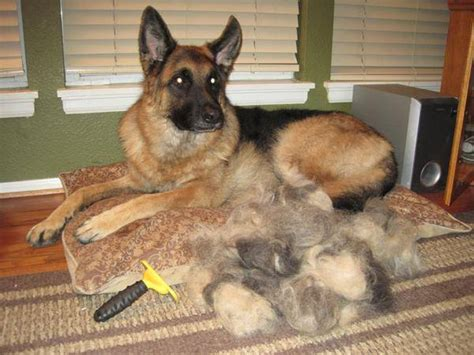 top 10 worst shedding breeds to own the digest