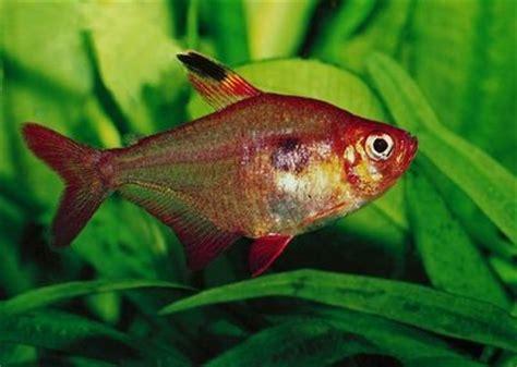hyphessobrycon callistus rubis du paraguay poisson d aquarium d eau eau douce chaude