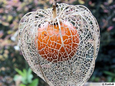 physalis amour en cage alk 233 kenge lanterne japonaise coqueret du p 233 rou
