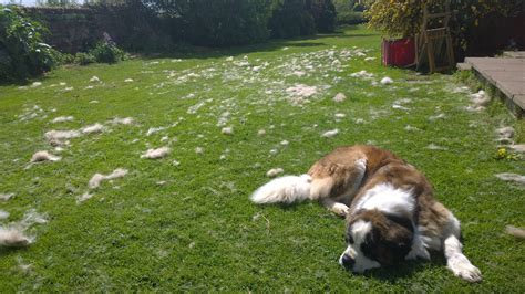 do st bernards shed so we tried grooming our st bernard aww