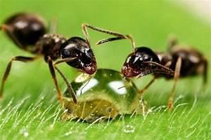 Mittel Gegen Rote Ameisen : ameisen bek mpfen im haus und im garten hausmittel gegen ameisen ~ Whattoseeinmadrid.com Haus und Dekorationen