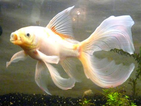 le plus beau poisson de votre aquarium page 2