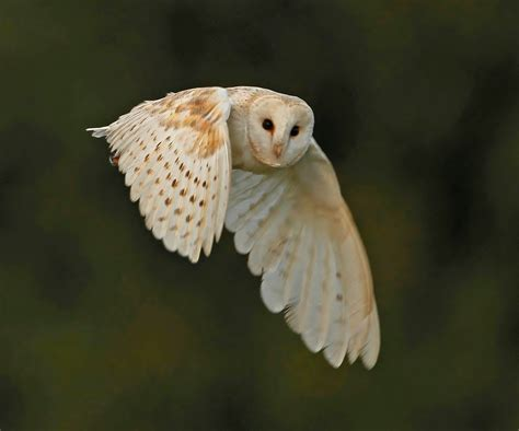 barn owl for my is a barn owl home on the grange