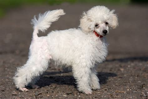 Non Shed Breeds Hypoallergenic by Most Popular Hypoallergenic Non Shedding Breeds