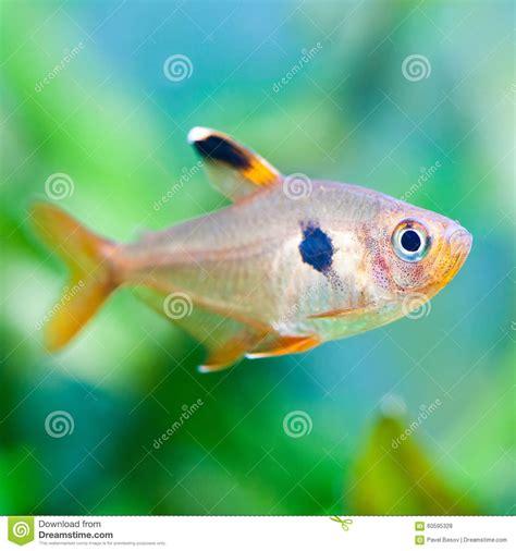 t 233 tra poissons de macro vue beau fond vert d aquarium de r 233 servoir d eau douce photo stock