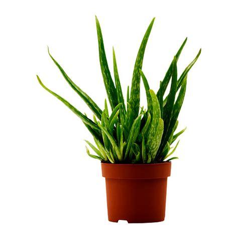 aloe vera plante en pot ikea
