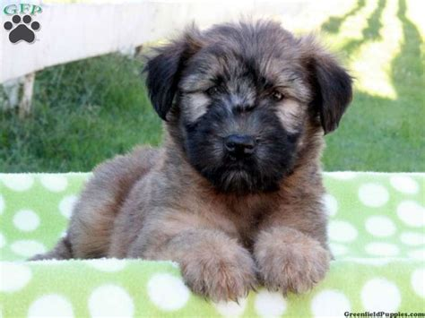 17 best images about non shedding dogs on puppys other and poodle mix