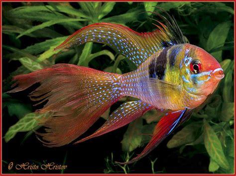 best 20 freshwater aquarium fish ideas on freshwater fish tank freshwater aquarium
