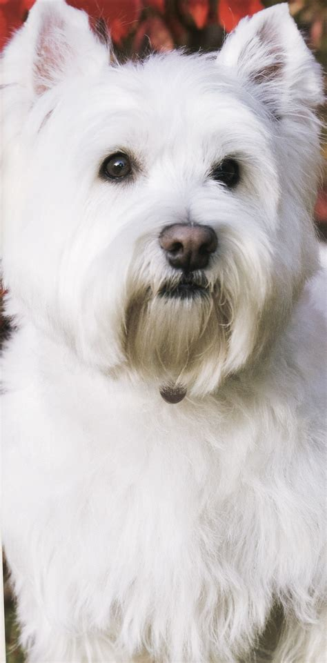 small white non shedding breeds non shedding dogs west highland terrier breeds picture