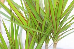 Zimmerpflanze Lange Grüne Blätter : zimmerpflanzen pflege ~ Markanthonyermac.com Haus und Dekorationen