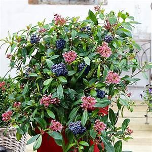 Immergrüne Winterharte Kübelpflanzen : mexikanische heidelbeere blue tini von g rtner p tschke ~ Markanthonyermac.com Haus und Dekorationen