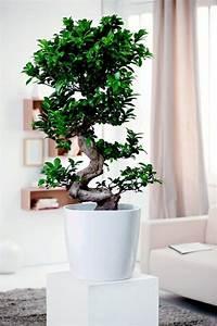 Pflanzen Für Wohnzimmer : wohnzimmer pflanzen birkenfeige zimmerb umchen zimmerpflanzen pinterest wohnzimmer ~ Markanthonyermac.com Haus und Dekorationen