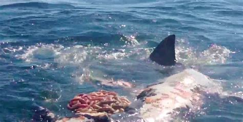 Cape Cod Shark  The New Reality  The Platinum Pebble