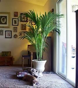 Palmen Für Die Wohnung : wohnzimmer palme pflanzen f r nassen boden ~ Markanthonyermac.com Haus und Dekorationen