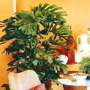Zimmerpflanze Lange Grüne Blätter : gro e zimmerpflanzen mein sch ner garten ~ Markanthonyermac.com Haus und Dekorationen