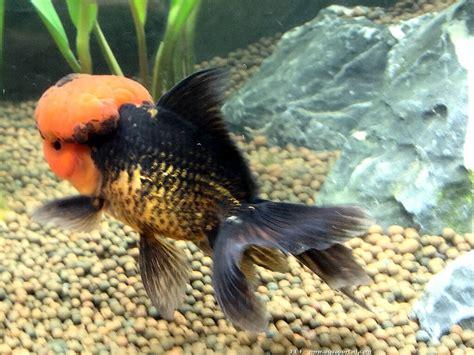 aquarium 224 poissons rouges oranda forum poissons