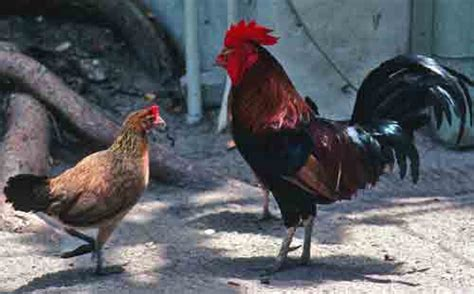 a chicken in every pot the world s fare