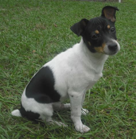 Rat Terrier Shedding Help by Who Is Trying To Get Healthier This Year Ta Fit Club