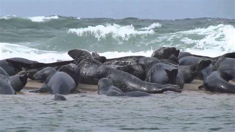 Grey Seals Truro, Cape Cod 61411 Youtube