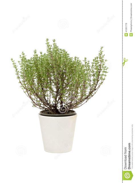 thym dans le pot photo stock image 41261776