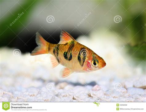 poissons tropicaux d eau douce d aquarium de rhomboocellatus de rhombo barb puntius photo stock