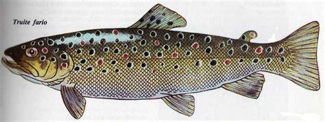 poissons des rivi 232 res association agr 233 233 e de p 234 che et de protection des milieux aquatiques